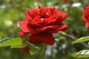 bunga-mawar.jpg